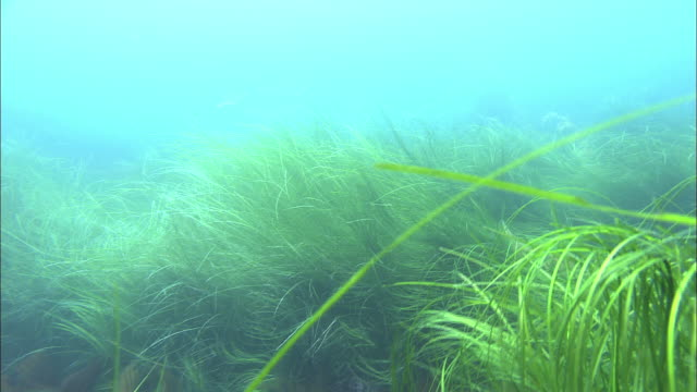 Sea weed called Sugamo growing at the sea bottom of Rishiri Island
