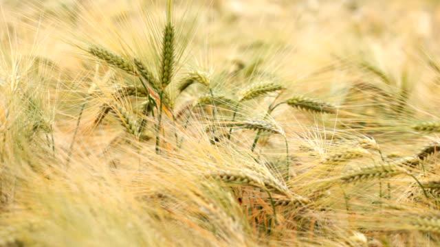 vídeos y material grabado en eventos de stock de trigo al mar - grupo mediano de objetos
