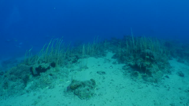 Sea whip coral colony in underwater reef