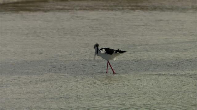 stockvideo's en b-roll-footage met a seabird forages in shallow water. - foerageren