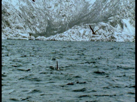 vídeos de stock e filmes b-roll de seabirds hover above a killer whale that surfaces off the snowy coast of norway. - cetáceo