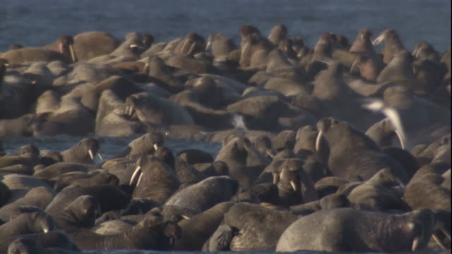 vídeos y material grabado en eventos de stock de seabirds swoop over a massive colony of walruses. available in hd. - colonia grupo de animales