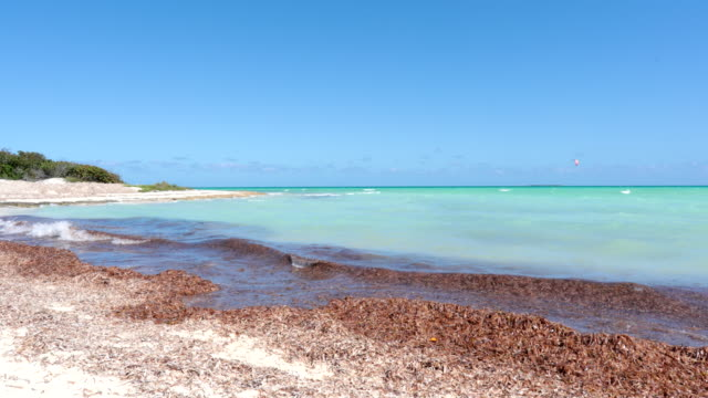 seadweed on the beach in the caribbean - seaweed stock videos & royalty-free footage