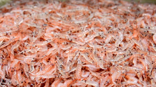 "stockvideo's en b-roll-footage met seafood middlemen bid loudly on the area's first spring haul of miniature ""sakura-ebi"" shrimp at the yui and oigawa fishing ports in shizuoka... - 40 seconds or greater"