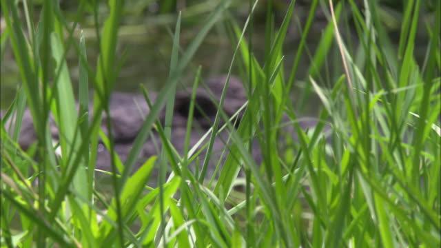 Seagrass frames an alligator's eye in a Florida swamp.