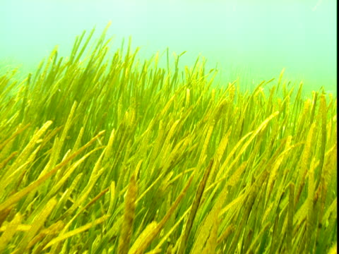 seagrass grows in a shallow seabed. - shallow stock videos & royalty-free footage
