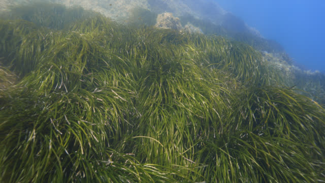vidéos et rushes de seagrass (posidonia oceanica) - vincent pommeyrol