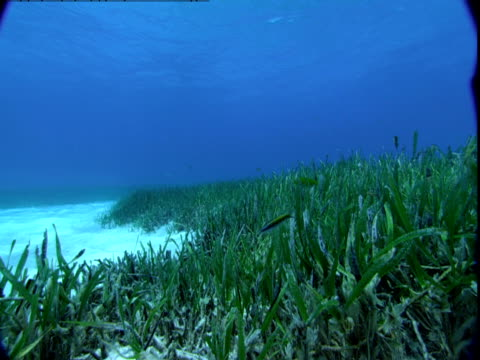 vídeos de stock e filmes b-roll de seagrass waves in a current on the seabed as small fish dart around in the bahamas. - sargaço