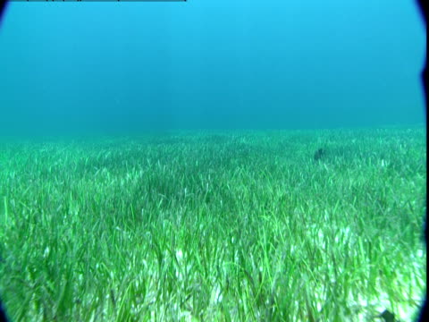 Seagrass waves in a slow current in the waters of the Bahamas.