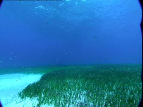 Seagrass waves in the ocean currents of the Bahamas.