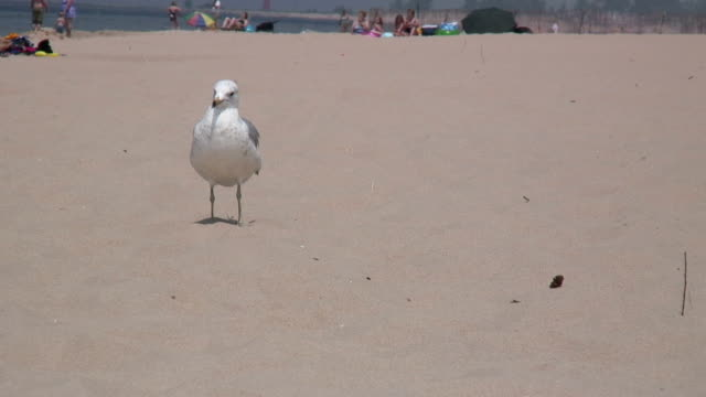 seagull at the sandy beach 5 - hd 1080/60i - named wilderness area stock videos & royalty-free footage