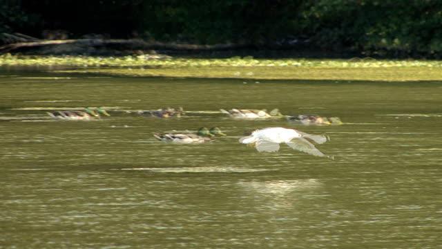 vídeos y material grabado en eventos de stock de gaviota de baño - cuello de animal