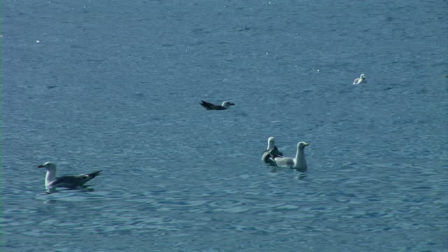 seagull bird swimming in sea - medium group of animals stock videos & royalty-free footage