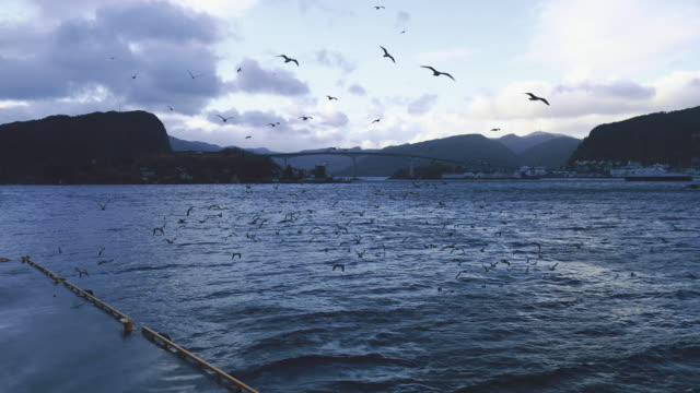 seagull birds: the fjord at sunset - documentary footage stock videos and b-roll footage