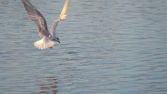 Seagull catching a fish slow motion