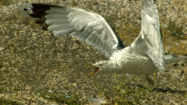 a seagull chases swarming mayflies on a sandy beach. - seagull stock videos & royalty-free footage