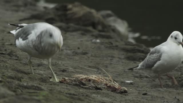 vídeos de stock e filmes b-roll de seagull eating salmon on riverbank, kamchatka, 2009 - captura de peixe
