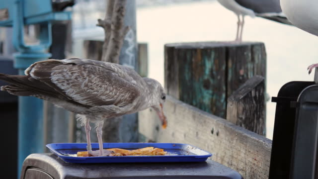 a seagull eating scraps of food of of a tray on top of a trash can - leftovers stock videos & royalty-free footage