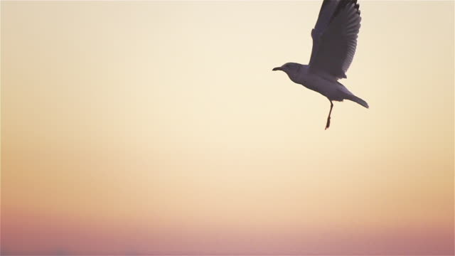 vídeos de stock, filmes e b-roll de ms of seagull flapping wings in slow motion at sunset. - gaivota