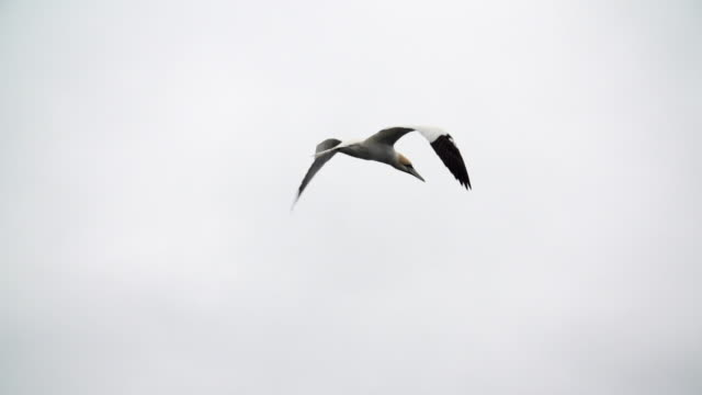 Seagull flying across grey sky