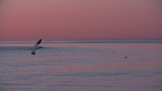 seagull flying across the sky at sunset - horizon over water stock videos & royalty-free footage