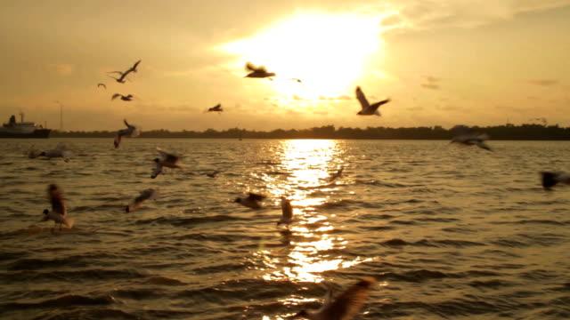 Seagull flying in sunset,Steadycam shot