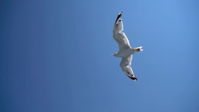 seagull flying on a blue sky - sea water bird stock videos & royalty-free footage