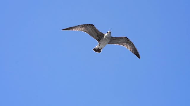seagull flying on a blue sky - sea bird stock videos & royalty-free footage