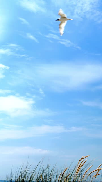 seagull flying on a blue sky with light cloud. - sea grass plant stock videos & royalty-free footage