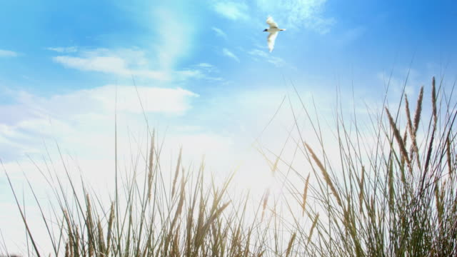 seagull flying over a blue sky and long beach grass. - reed grass family stock videos & royalty-free footage