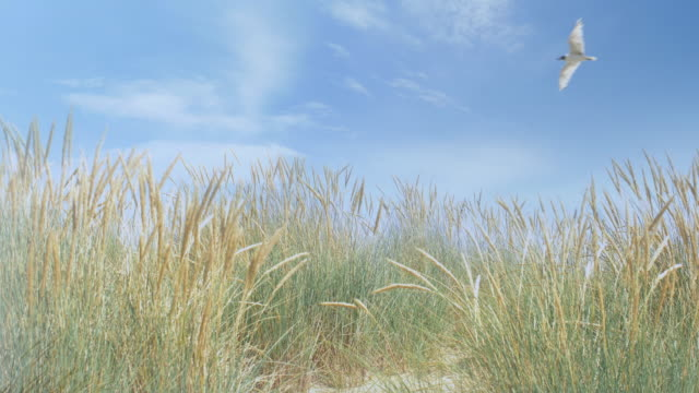 seagull flying over marram grass. ds. - coastline stock videos & royalty-free footage