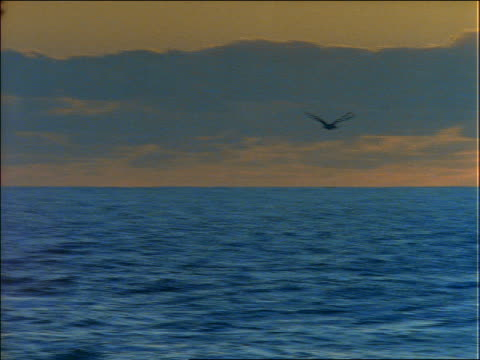 pan of seagull flying over ocean at sunset - aquatisches lebewesen stock-videos und b-roll-filmmaterial
