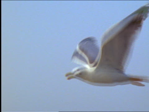 pan seagull flying over water / hills in background / greece - aquatisches lebewesen stock-videos und b-roll-filmmaterial