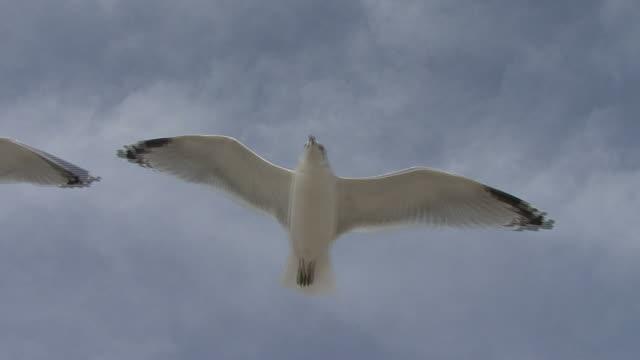 vídeos y material grabado en eventos de stock de gaviota volando sobrecarga - grupo mediano de animales