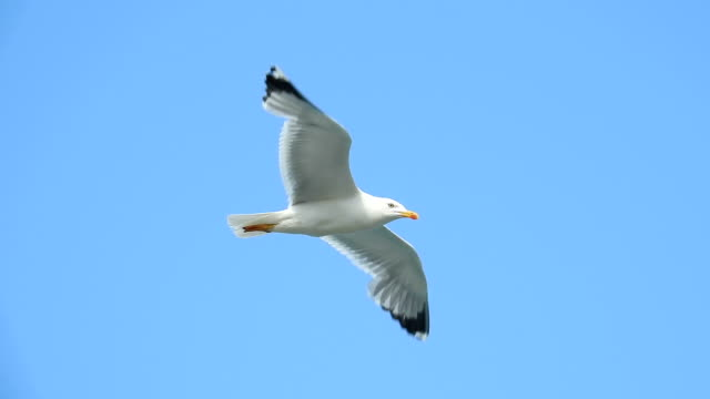 seagull flying - seagull stock videos and b-roll footage