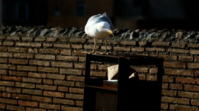 Seagull from Rome, animal behaviour