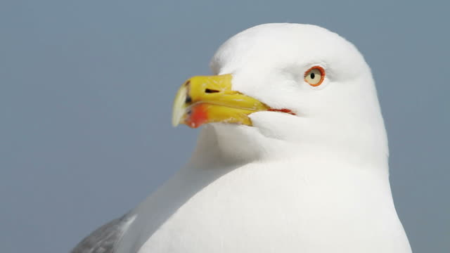 seagull from rome - seagull stock videos & royalty-free footage