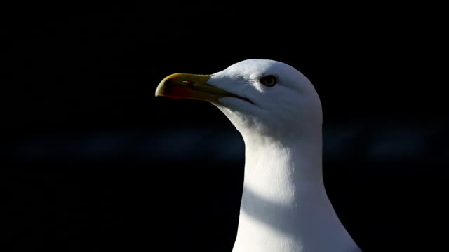 Seagull from Rome, walking away in the dark