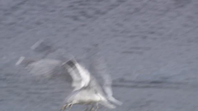 seagull - hd 1080/60i - liten djurflock bildbanksvideor och videomaterial från bakom kulisserna