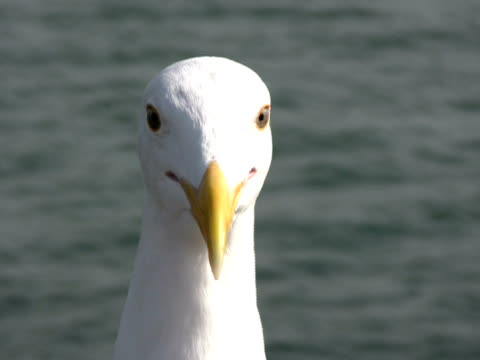Seagull Head and Face