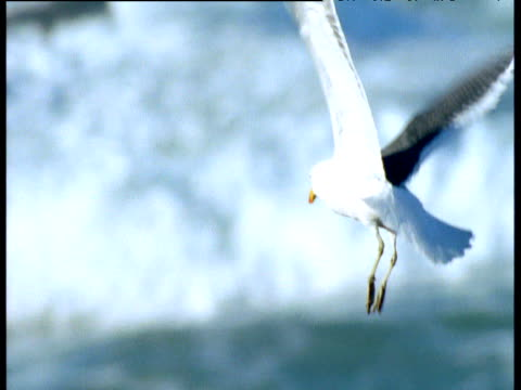 Seagull hovers and flies