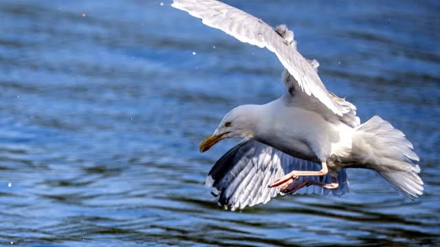 seagull hunting for food - シネマグラフ点の映像素材/bロール
