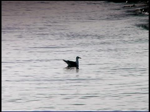 seagull in water, bald head island, north carolina - bald head island stock videos and b-roll footage