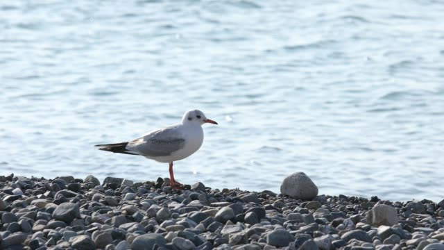 a seagull is standing at bonggil beach in gyeongju, kyongsangbuk-do province - animal leg stock videos & royalty-free footage