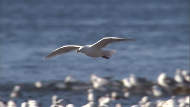 a seagull lands among a flock of gulls on a rocky coast. available in hd. - seagull stock videos and b-roll footage