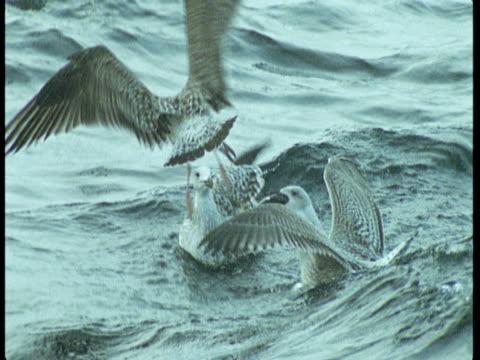 vídeos de stock e filmes b-roll de a seagull lands among its flock on the ocean. - boca de animal