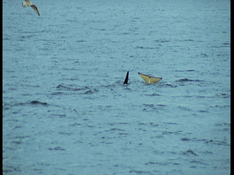 A seagull lands just after a killer whale lobtails and another submerges in the ocean.