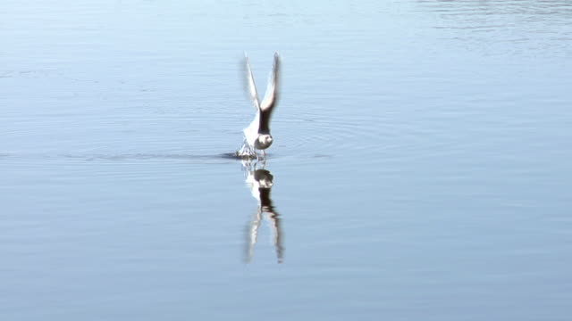 seagull lift off. - water bird stock videos & royalty-free footage