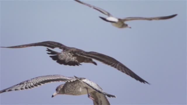 vídeos de stock, filmes e b-roll de seagull mid-flight bird in slow motion on beach. - gaivota