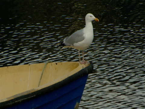 vidéos et rushes de seagull on boat, calm sea, regal, picture postcard, tranquil - mull